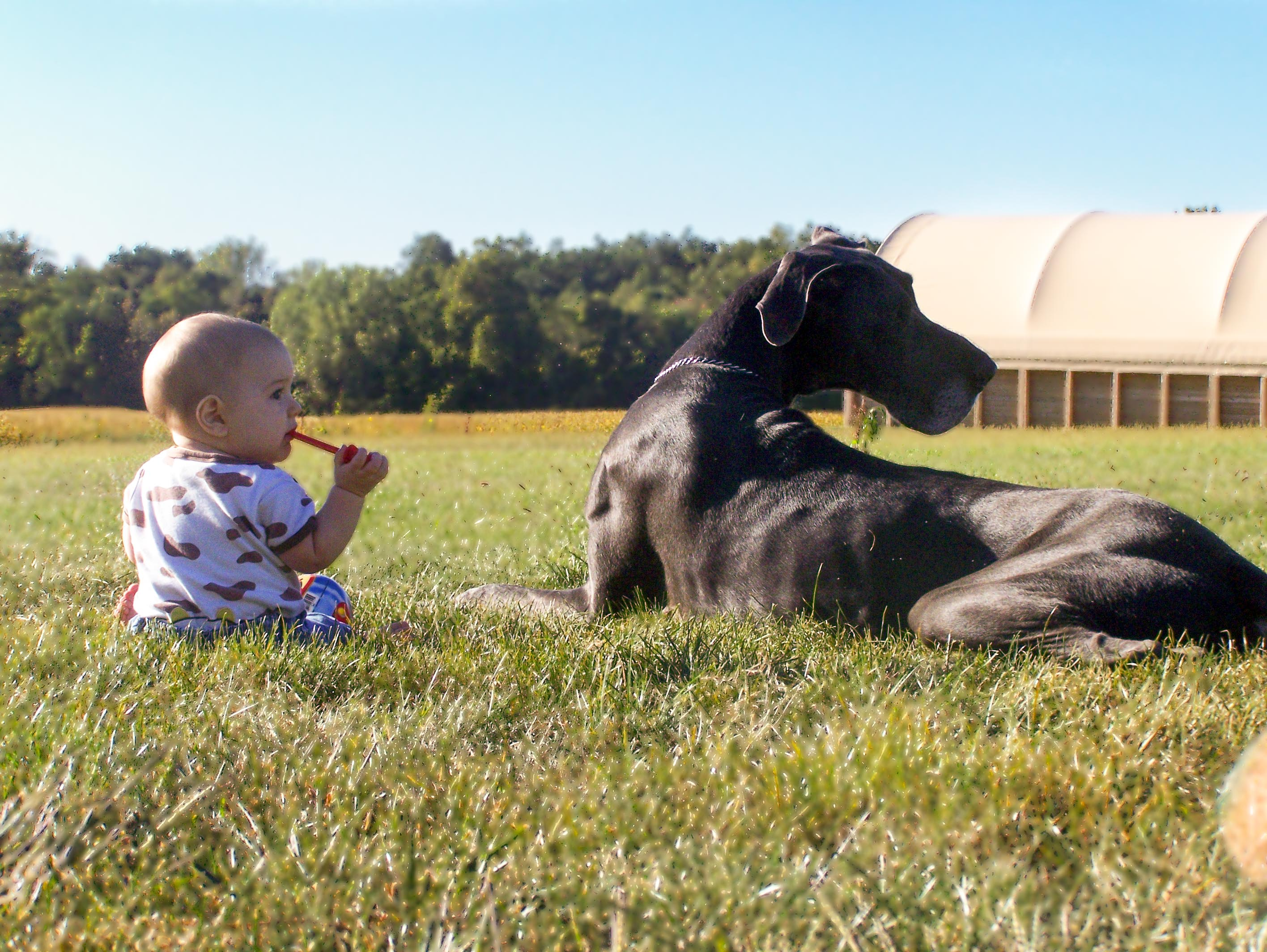 Majestic European Great Dane Puppies and Dogs for every family.